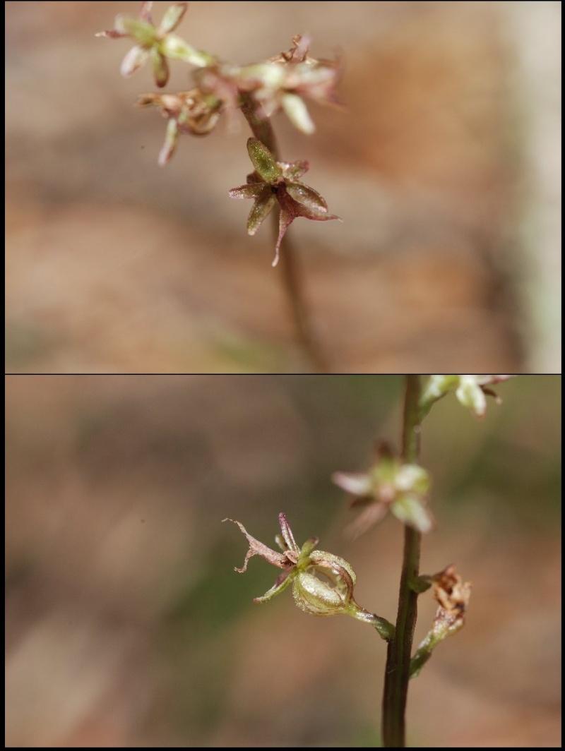 Neottia cordata (Listère cordée) Lister10