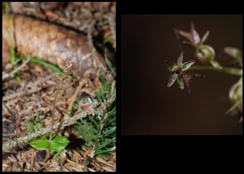 Neottia cordata (Listère cordée) Lister11