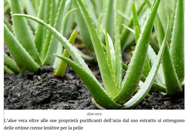Le piante della salute Aloe10
