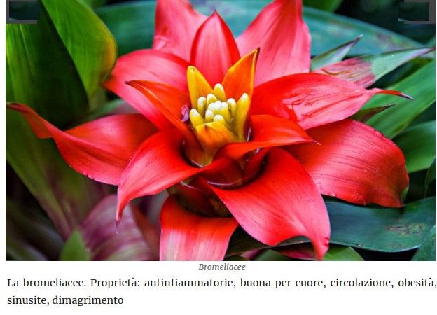 Le piante della salute Bromel10