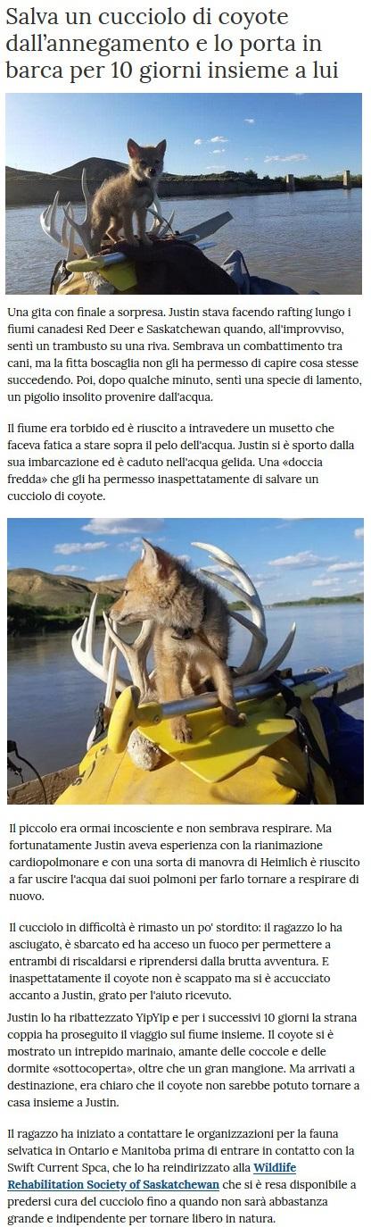 Notizie di animali....nel mondo - Pagina 5 Coyote10