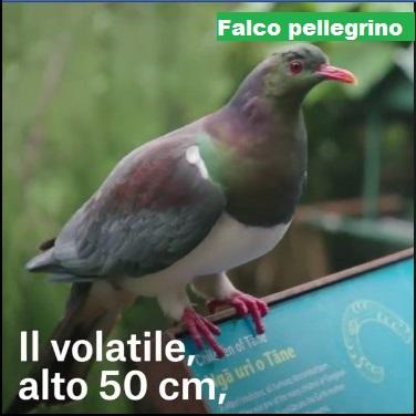 Animali... strani - Pagina 7 Falco10
