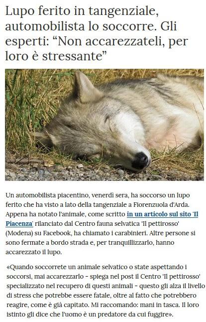 Notizie di animali....nel mondo - Pagina 8 Lupo11