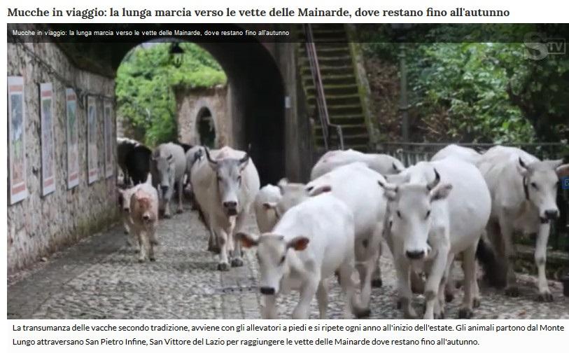 Notizie di animali....nel mondo - Pagina 4 Mucche12