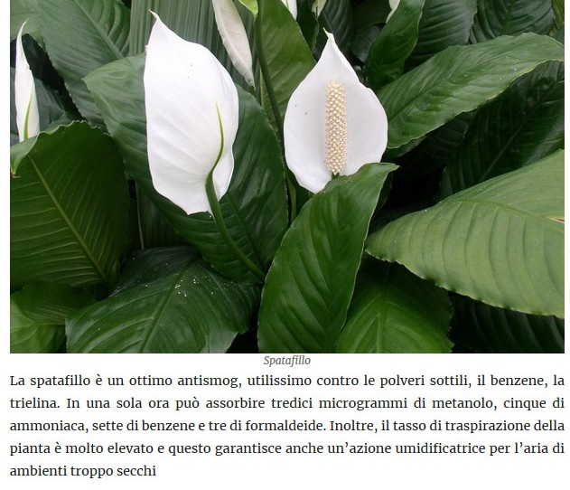 Le piante della salute Spataf10