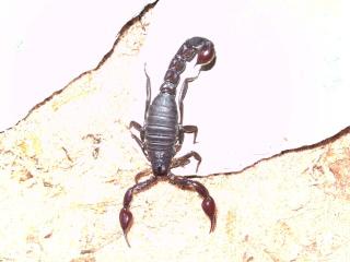 Caraboctonus keyserlingi? Scorpi11
