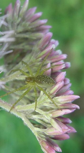 Araignée de velours vert amande ! Dscn4310