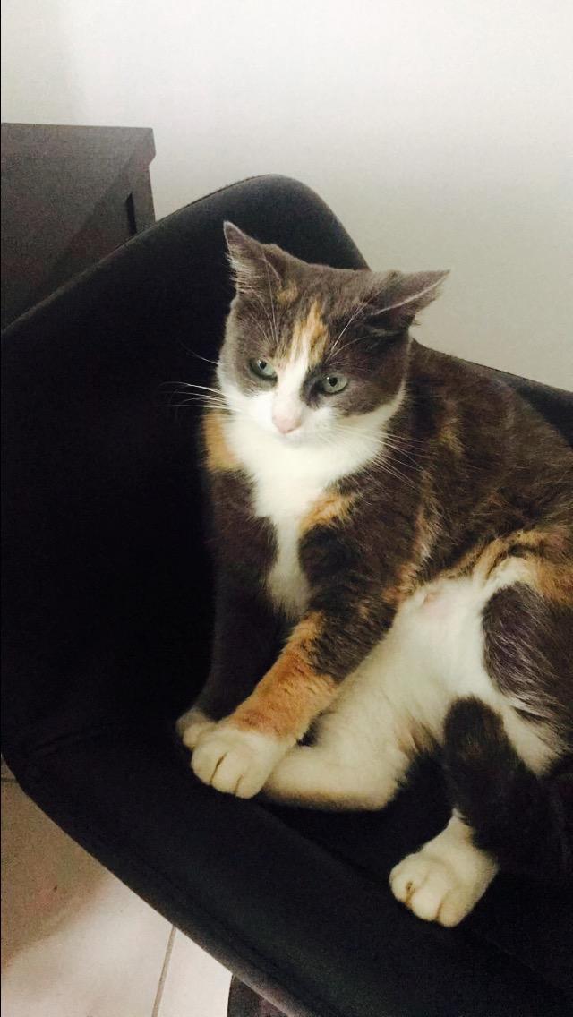 Perdue chatte tricolore diluée à Colomiers Fullsi10