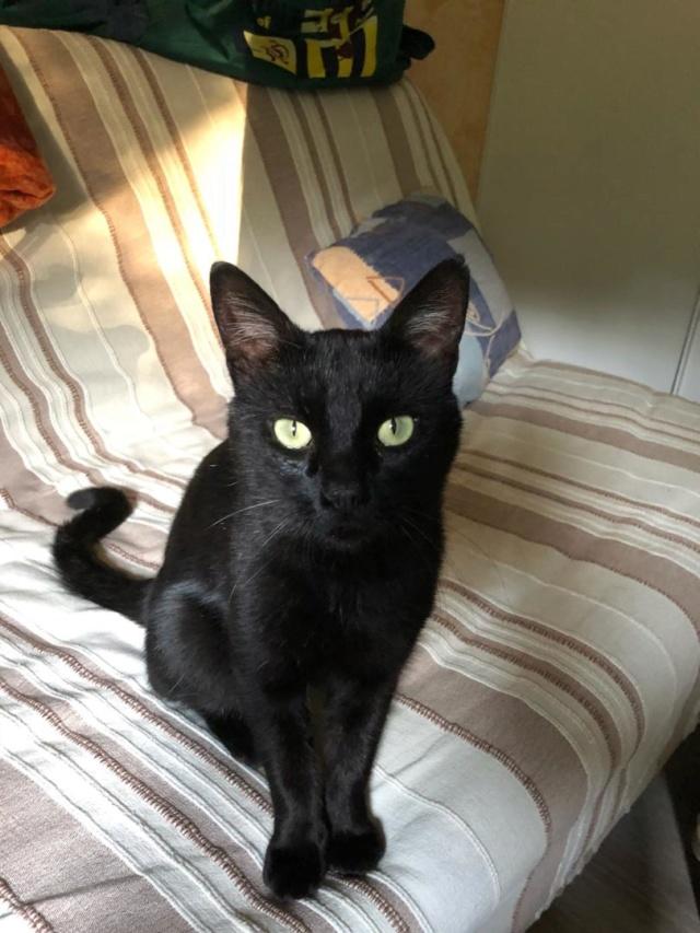 Trouvé chat mâle noir à Colomiers Img_0811