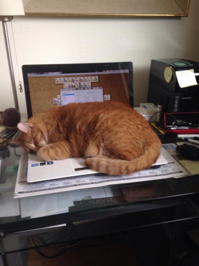 Perdu chat roux à Colomiers Img_1310
