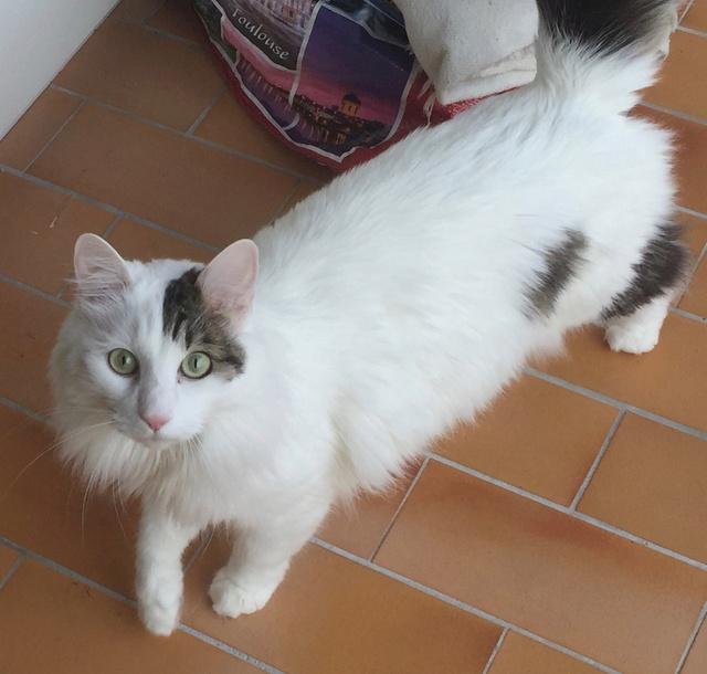 Perdu chat blanc taches grises poils mi-longs, à Colomiers Img_2010