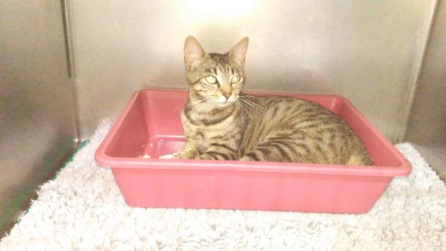 Trouvée chatte tigrée à Colomiers P_201856