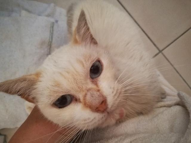 Trouvé chat red-point typé siamois à Colomiers Part_110