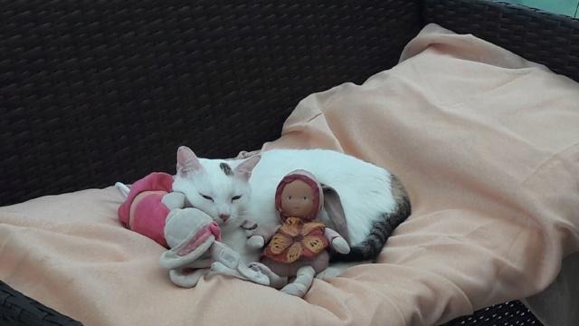 Perdue chatte blanche taches tigrées à Colomiers Resize17