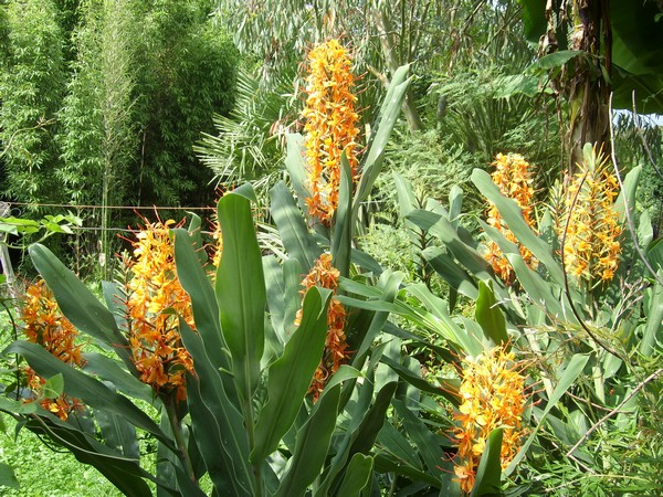 Identification hedychium orange! - Hedychium coccineum 'Tara'! Hedych11