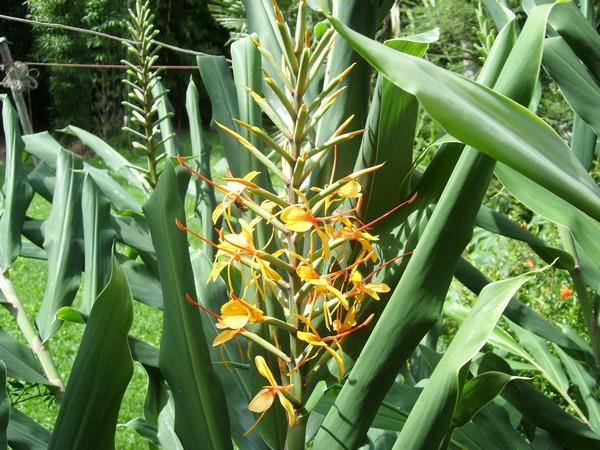 Identification hedychium orange! - Hedychium coccineum 'Tara'! Id10010
