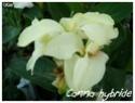 Canna indica ( Fiche ) Canna_15