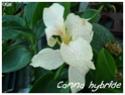 Canna indica ( Fiche ) Canna_18