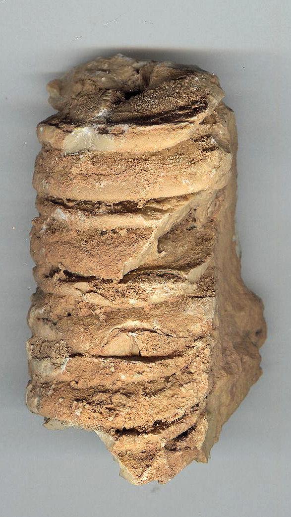 [Orthoceras sp.] - Fossile du Maroc Phacop10