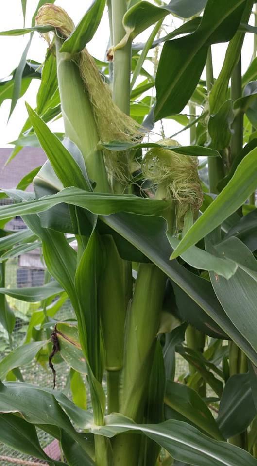 Corn - 'Peaches and Cream' Untitl16
