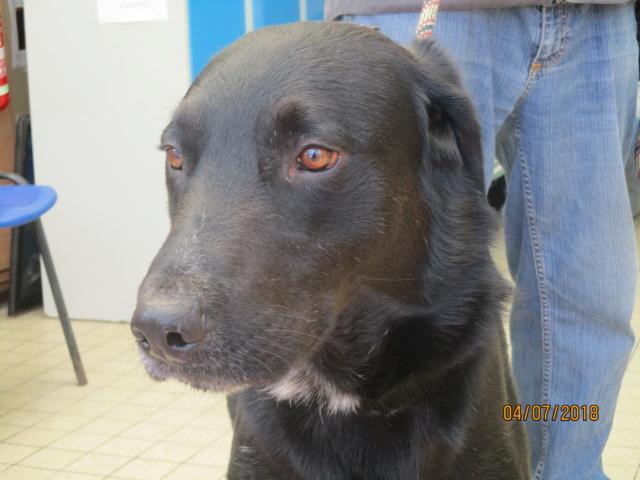 FILOU labrador male de 4 ans  de Béthune - Refuge de Chamarande (91) Img_2613