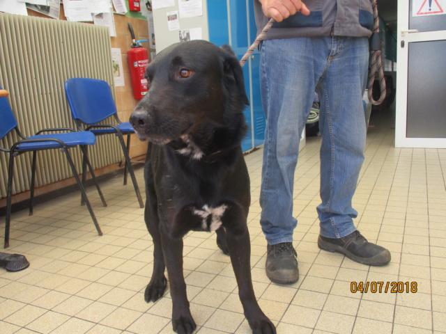 FILOU labrador male de 4 ans  de Béthune - Refuge de Chamarande (91) Img_2713