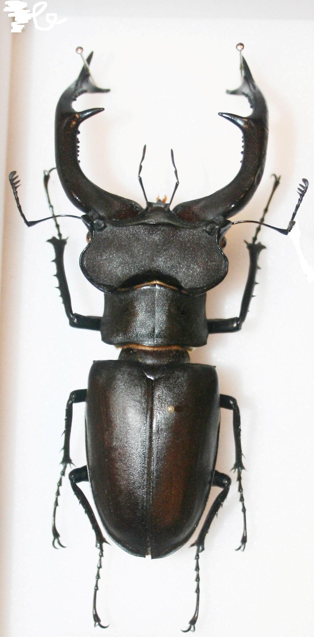 Lucanus cervus judaicus 99mm_m10