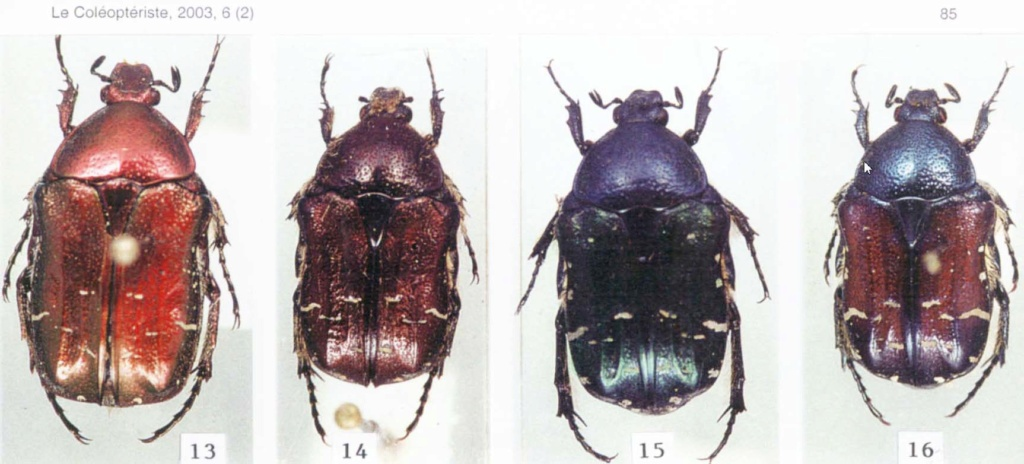 Variabilité chez Cetonia carthami carthami Clichz11