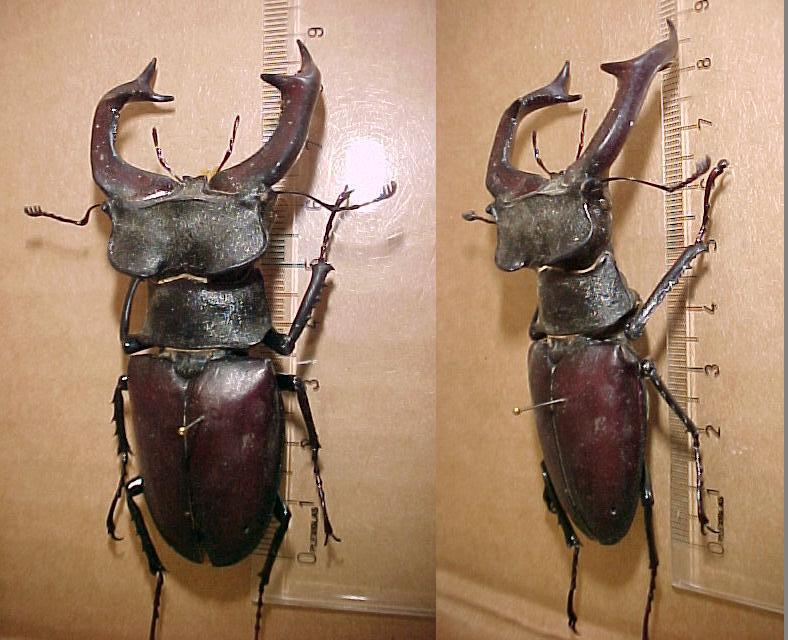 Nymphe cervus Lucanu13