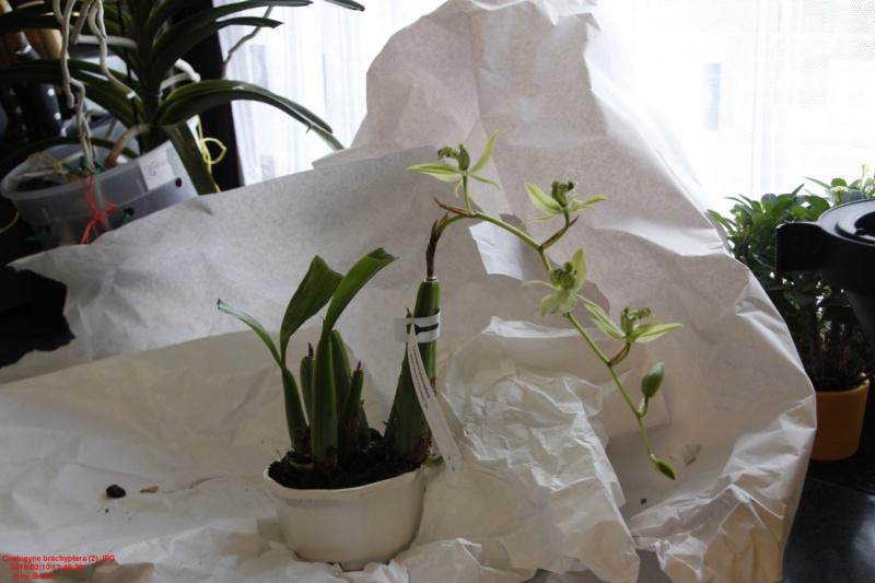 Orchideen-Neuzugang 2 - Seite 18 Coelog10