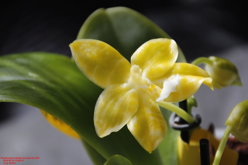 Orchideen-Neuzugang 2 - Seite 18 Phalae10