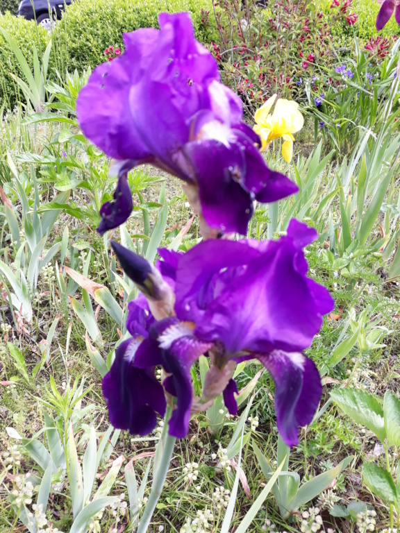 Schwertliliengewächse: Iris, Tigrida, Ixia, Sparaxis, Crocus, Freesia, Montbretie u.v.m. - Seite 26 20190578