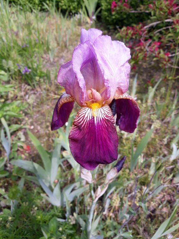 Schwertliliengewächse: Iris, Tigrida, Ixia, Sparaxis, Crocus, Freesia, Montbretie u.v.m. - Seite 26 20190579