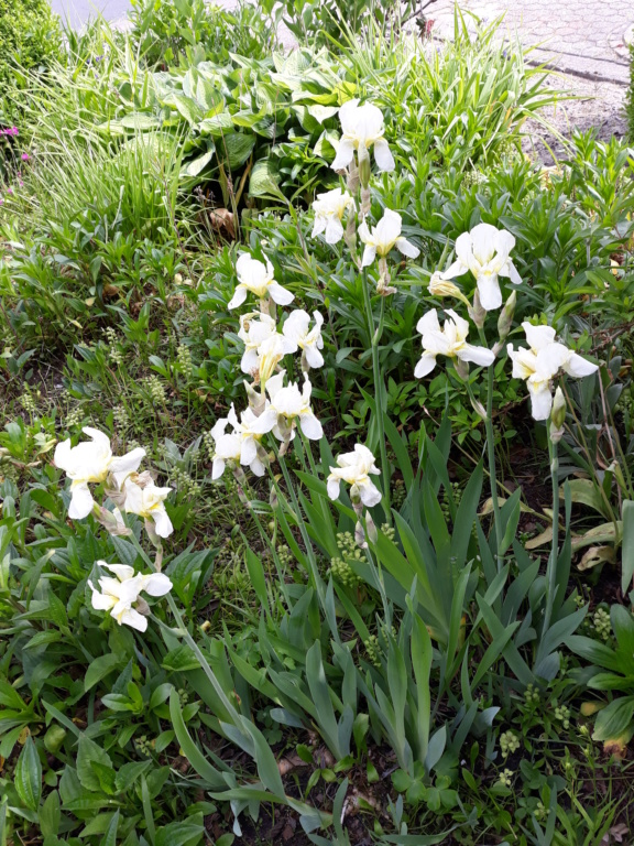 Schwertliliengewächse: Iris, Tigrida, Ixia, Sparaxis, Crocus, Freesia, Montbretie u.v.m. - Seite 26 20190580