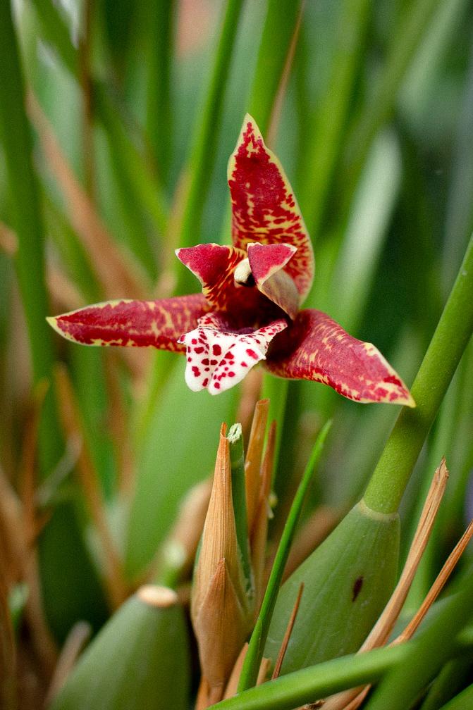 Maxillaria tenuifolia  Img_5910