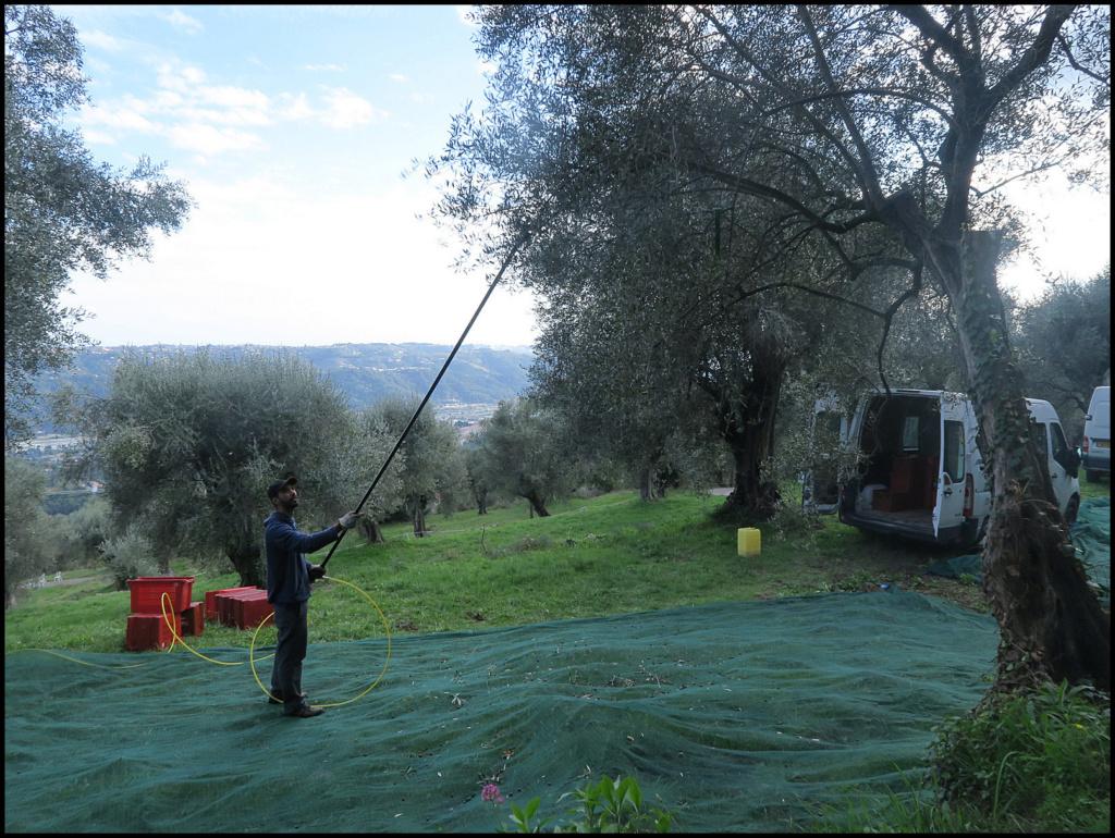 La cueillette des olives La_cue12