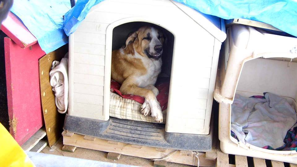Canis Thor(Gedeeltelijke adoptie) Thor216