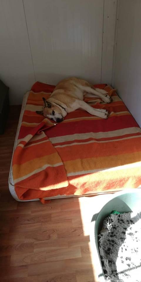 Canis Thor(Gedeeltelijke adoptie) Thor310