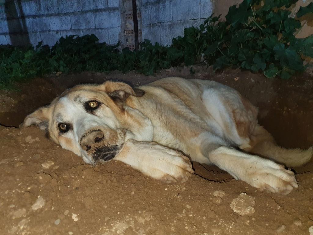 Canis Thor(Gedeeltelijke adoptie) Thor312