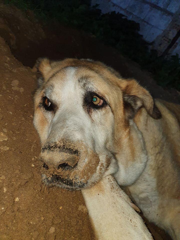 Canis Thor(Gedeeltelijke adoptie) Thor411