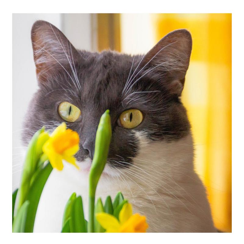 Plantas/flores tóxicas para gatos 010