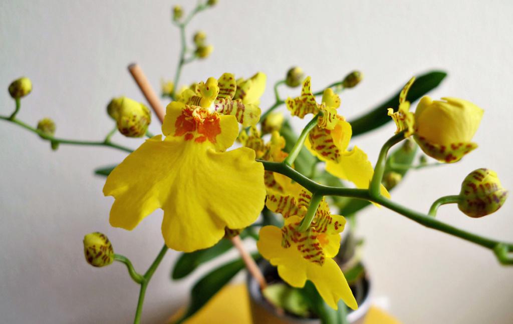 Orchideen 3 (fortlaufende Seiten 300 bis 400) - Seite 31 Orchid11