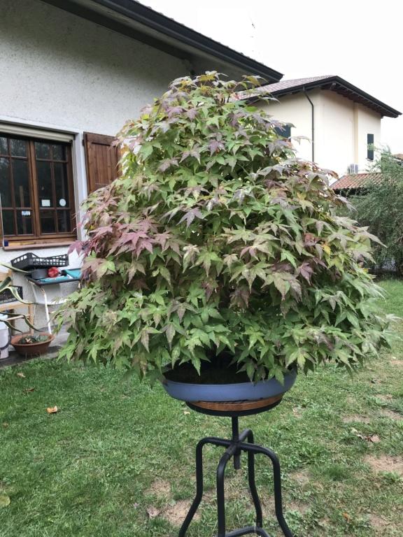 foglie di acero palmato con foglie con bordi cadenti Img_2011