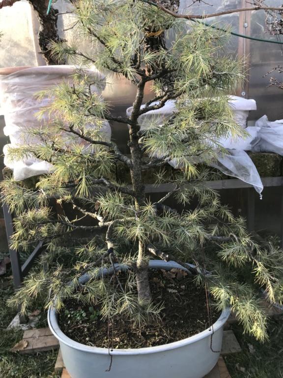 potatura di un cedro deodara per riportare la vegetazione verso il centro della pianta Img_2110