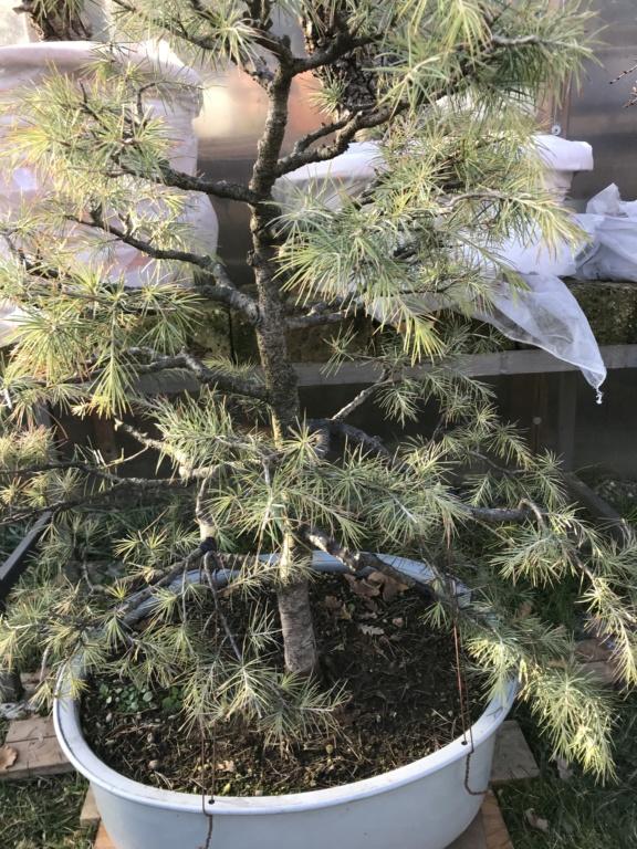 potatura di un cedro deodara per riportare la vegetazione verso il centro della pianta Img_2111