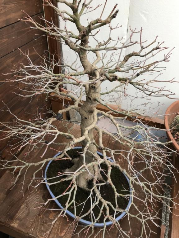 foglie di acero palmato con foglie con bordi cadenti - Pagina 2 Img_2114