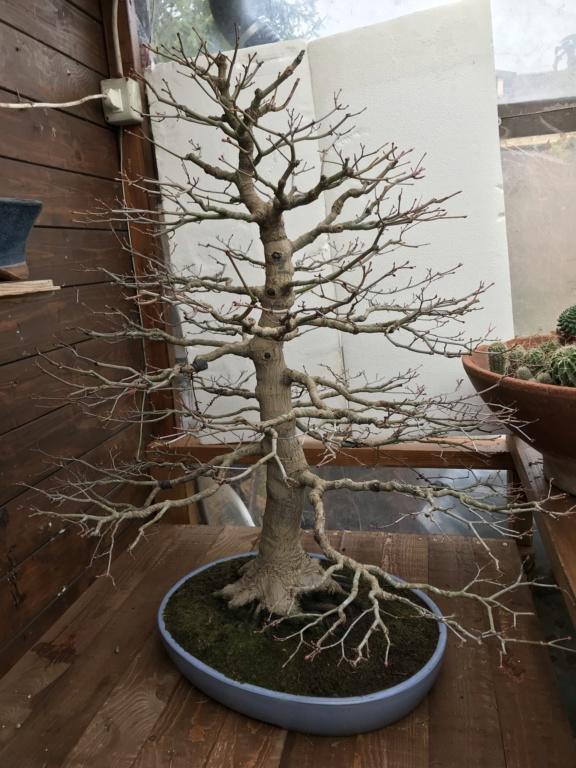 foglie di acero palmato con foglie con bordi cadenti - Pagina 2 Img_2115