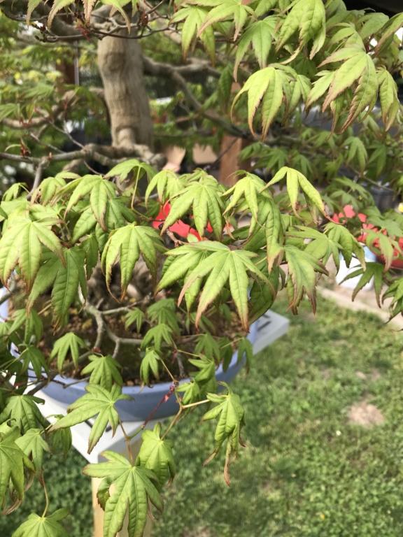foglie di acero palmato con foglie con bordi cadenti Img_2410