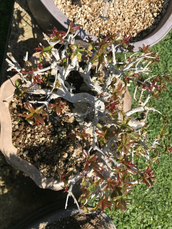 foglie che si atrofizzano sul melograno giapponese Img_2412
