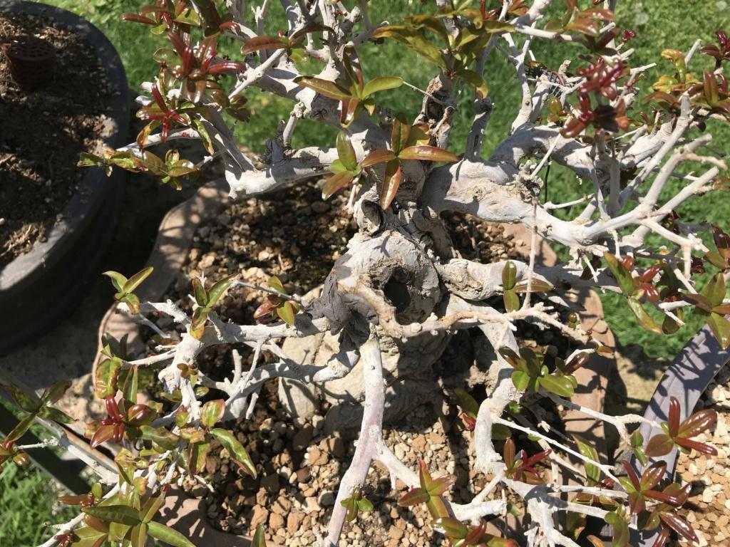 foglie che si atrofizzano sul melograno giapponese Img_2413